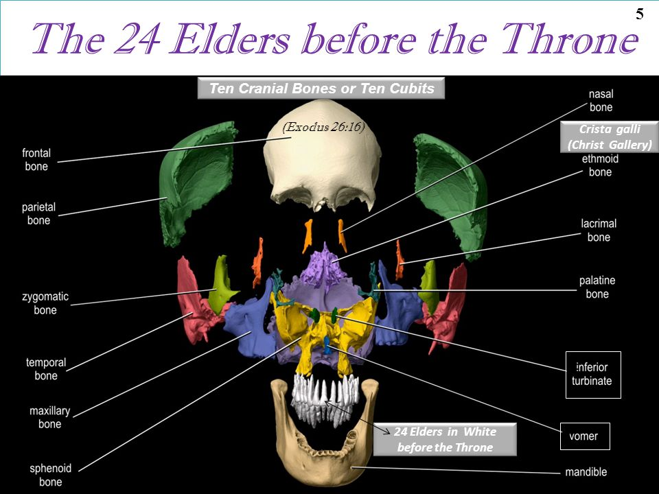 The 24 Elders before the Throne Crista galli (Christ Gallery) Ten Cranial Bones or Ten Cubits 24 Elders in White before the Throne 24 Elders in White before the Throne (Exodus 26:16) frontal bone L L 5