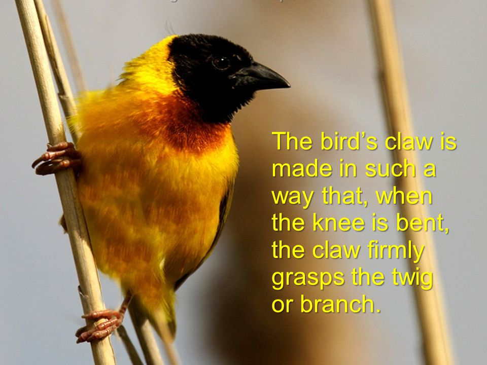 The secret is in the tendons of the legs of the bird.