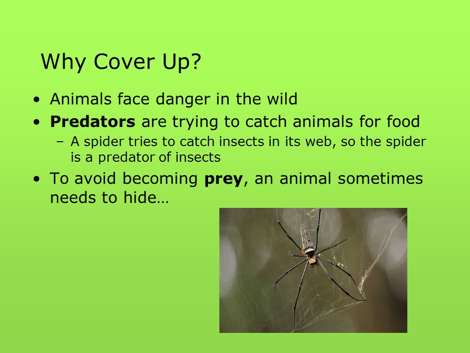 Why Cover Up? Animals face danger in the wild Predators are trying to catch animals for food –A spider tries to catch insects in its web, so the spide