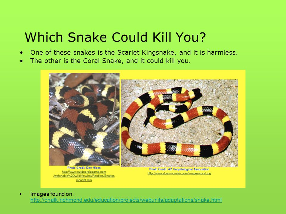 Which Snake Could Kill You? One of these snakes is the Scarlet Kingsnake, and it is harmless. The other is the Coral Snake, and it could kill you. Ima