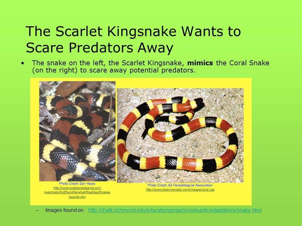 The Scarlet Kingsnake Wants to Scare Predators Away The snake on the left, the Scarlet Kingsnake, mimics the Coral Snake (on the right) to scare away