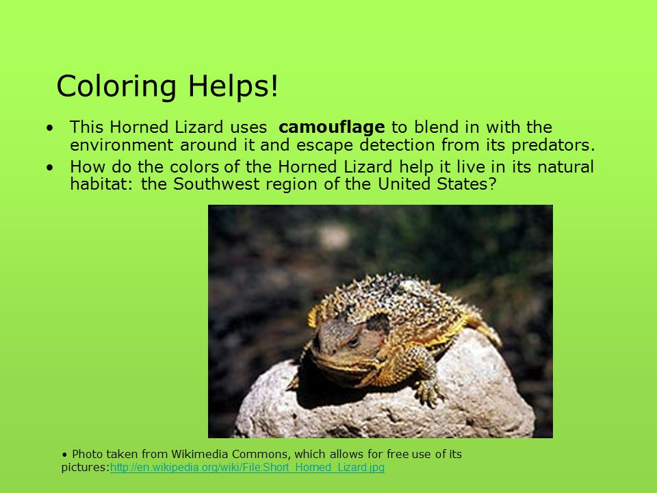 Coloring Helps! This Horned Lizard uses camouflage to blend in with the environment around it and escape detection from its predators. How do the colo