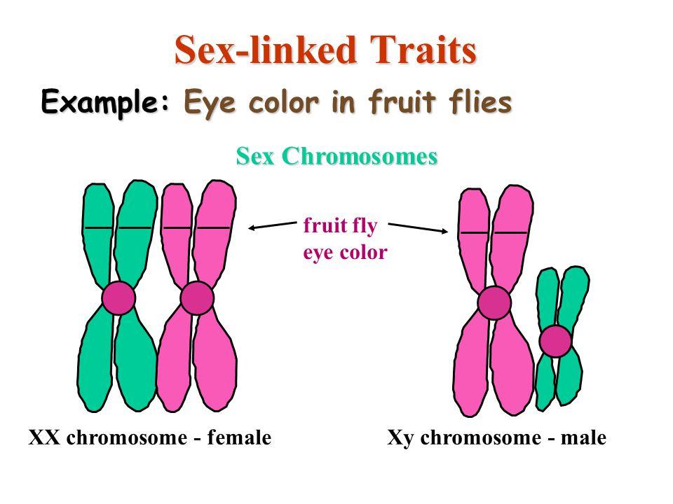 15 Sex-linked Traits Sex Chromosomes XX chromosome - femaleXy chromosome - male fruit fly eye color Example: Eye color in fruit flies copyright cmasse