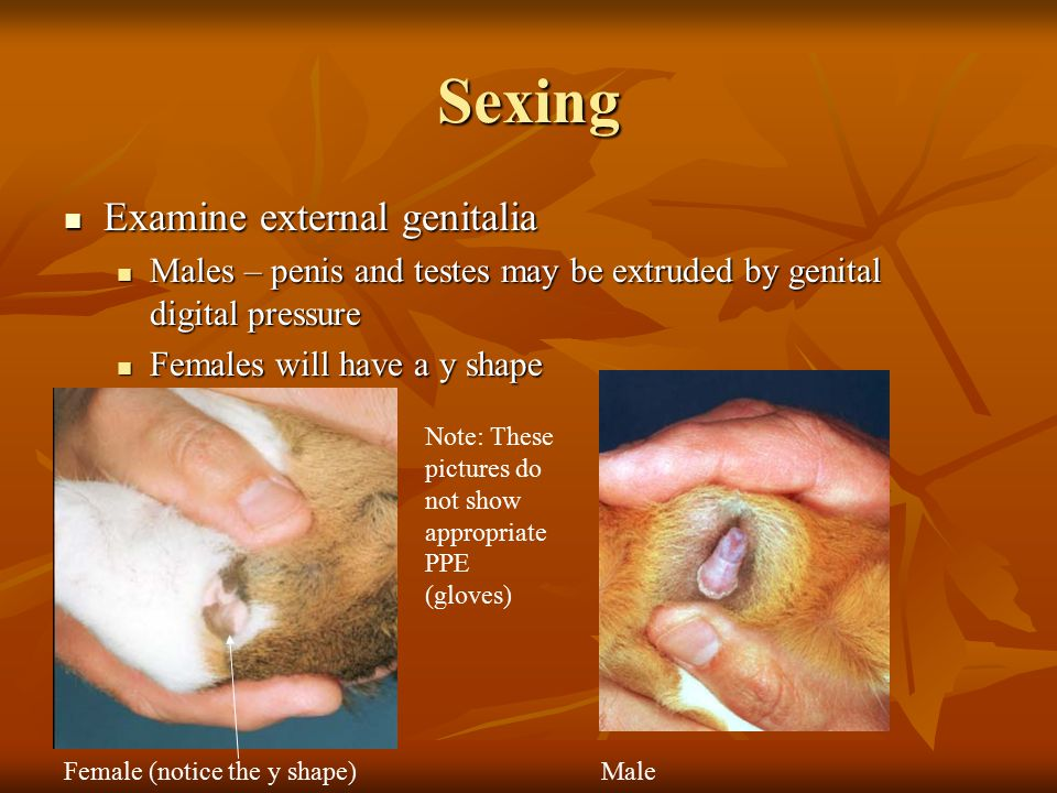 Sexing Examine external genitalia Examine external genitalia Males – penis and testes may be extruded by genital digital pressure Males – penis and testes may be extruded by genital digital pressure Females will have a y shape Females will have a y shape Female (notice the y shape)Male Note: These pictures do not show appropriate PPE (gloves)