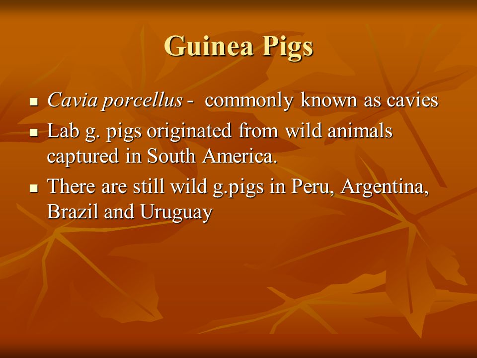 Guinea Pigs Cavia porcellus - commonly known as cavies Cavia porcellus - commonly known as cavies Lab g.