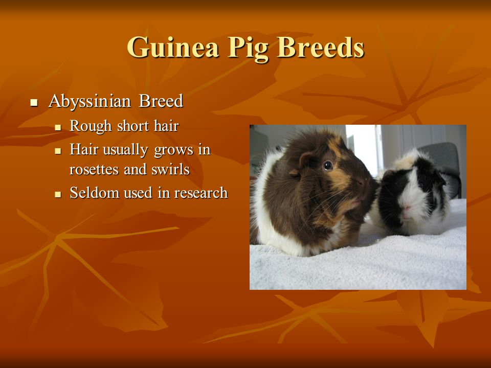 Guinea Pig Breeds Abyssinian Breed Abyssinian Breed Rough short hair Rough short hair Hair usually grows in rosettes and swirls Hair usually grows in rosettes and swirls Seldom used in research Seldom used in research