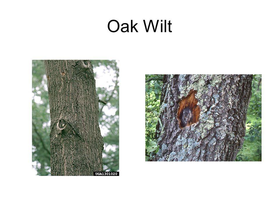 Oak Wilt