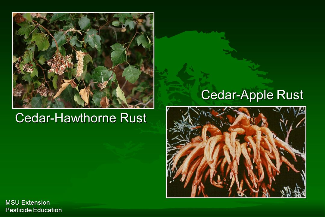MSU Extension Pesticide Education Cedar-Hawthorne Rust Cedar-Apple Rust
