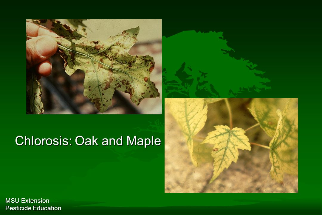 MSU Extension Pesticide Education Chlorosis: Oak and Maple