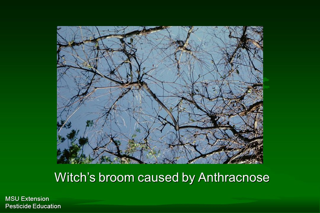 MSU Extension Pesticide Education Witch's broom caused by Anthracnose