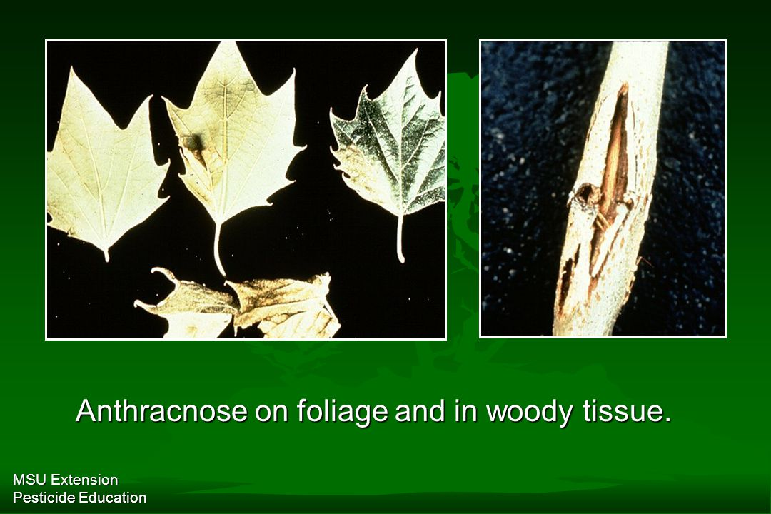MSU Extension Pesticide Education Anthracnose on foliage and in woody tissue.