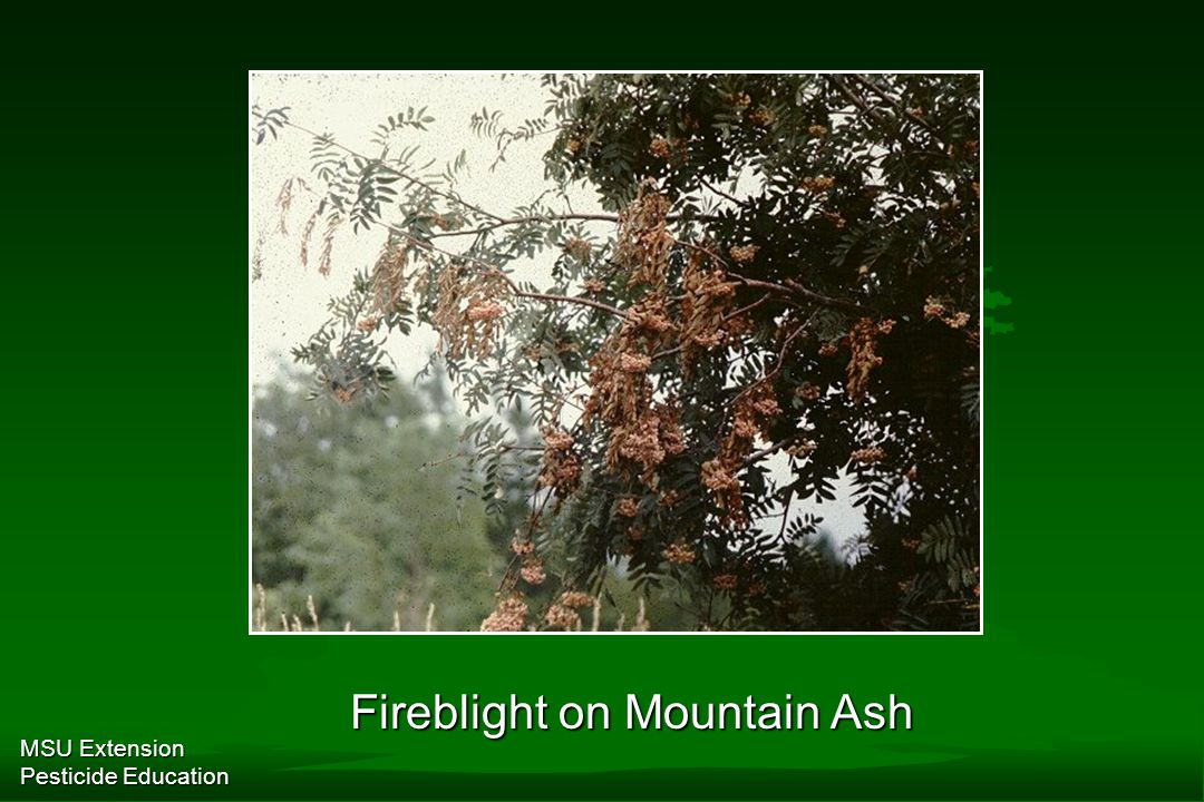 MSU Extension Pesticide Education Fireblight on Mountain Ash