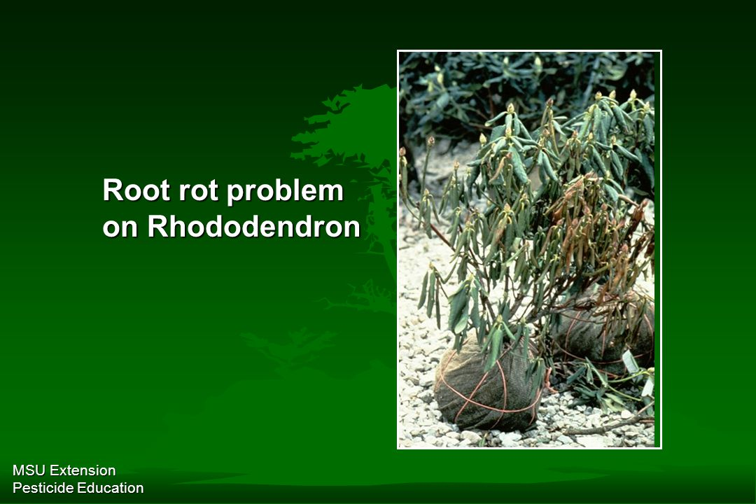 MSU Extension Pesticide Education Root rot problem on Rhododendron