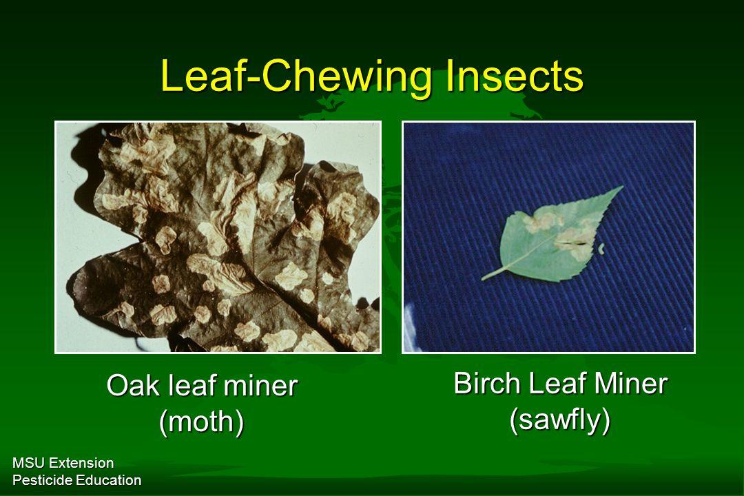 MSU Extension Pesticide Education Leaf-Chewing Insects Oak leaf miner (moth) Birch Leaf Miner (sawfly)