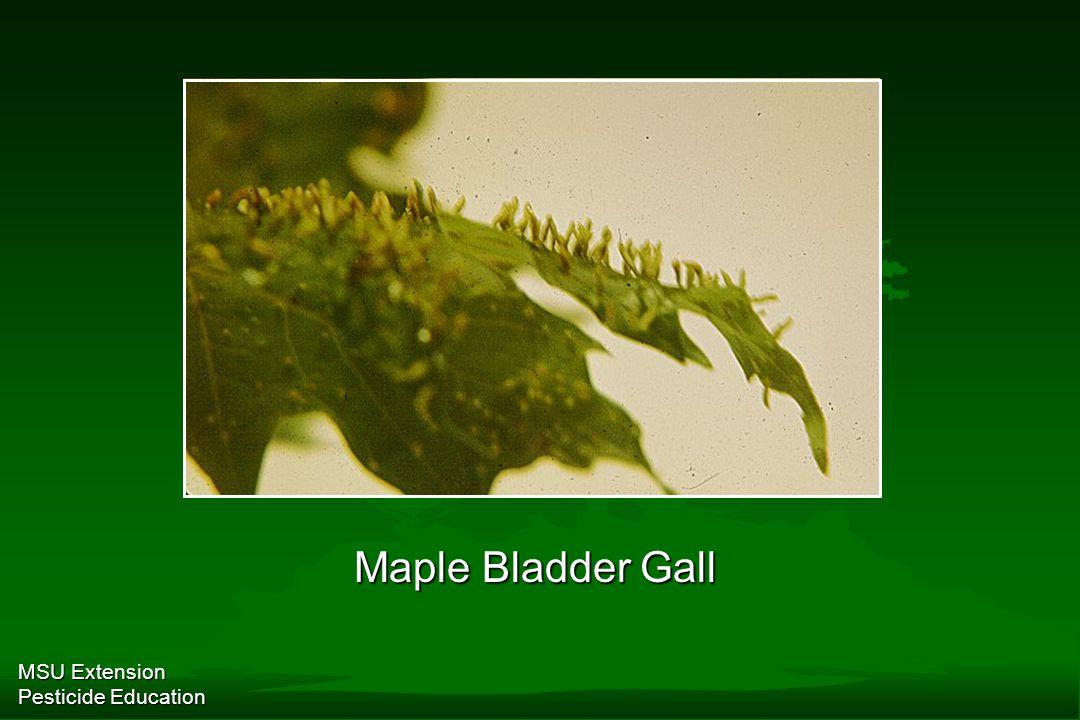 MSU Extension Pesticide Education Maple Bladder Gall
