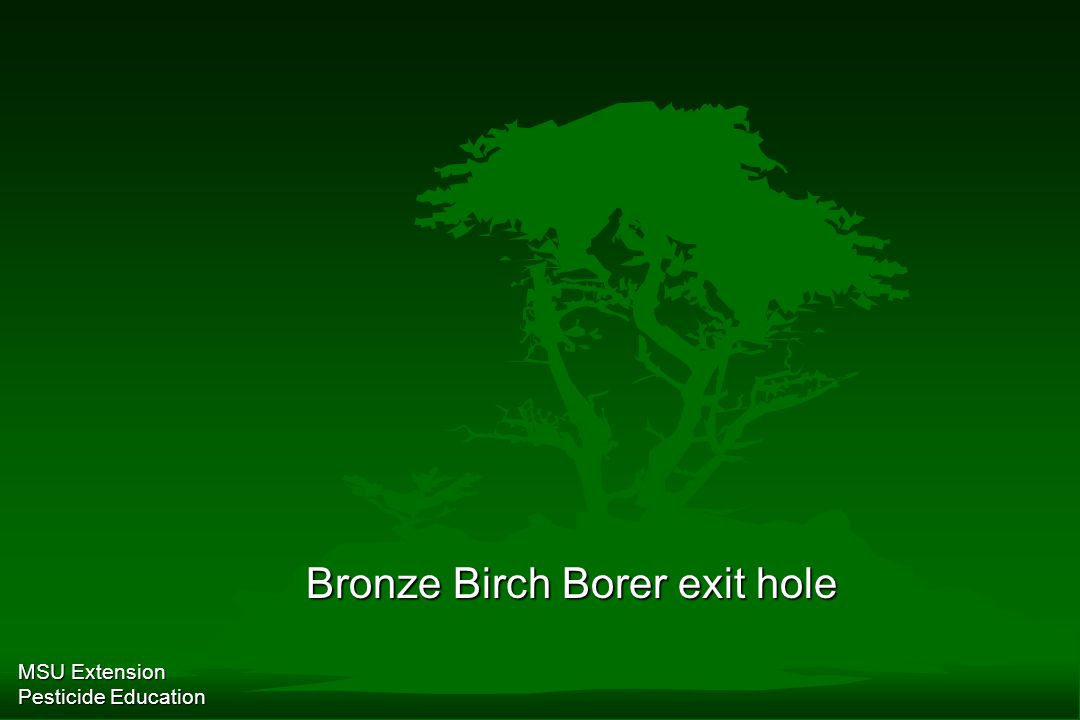 MSU Extension Pesticide Education Bronze Birch Borer exit hole