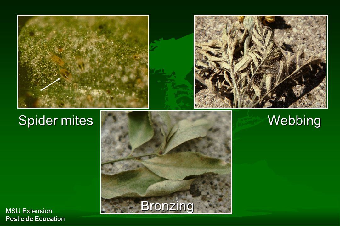 MSU Extension Pesticide Education Spider mites Webbing Bronzing