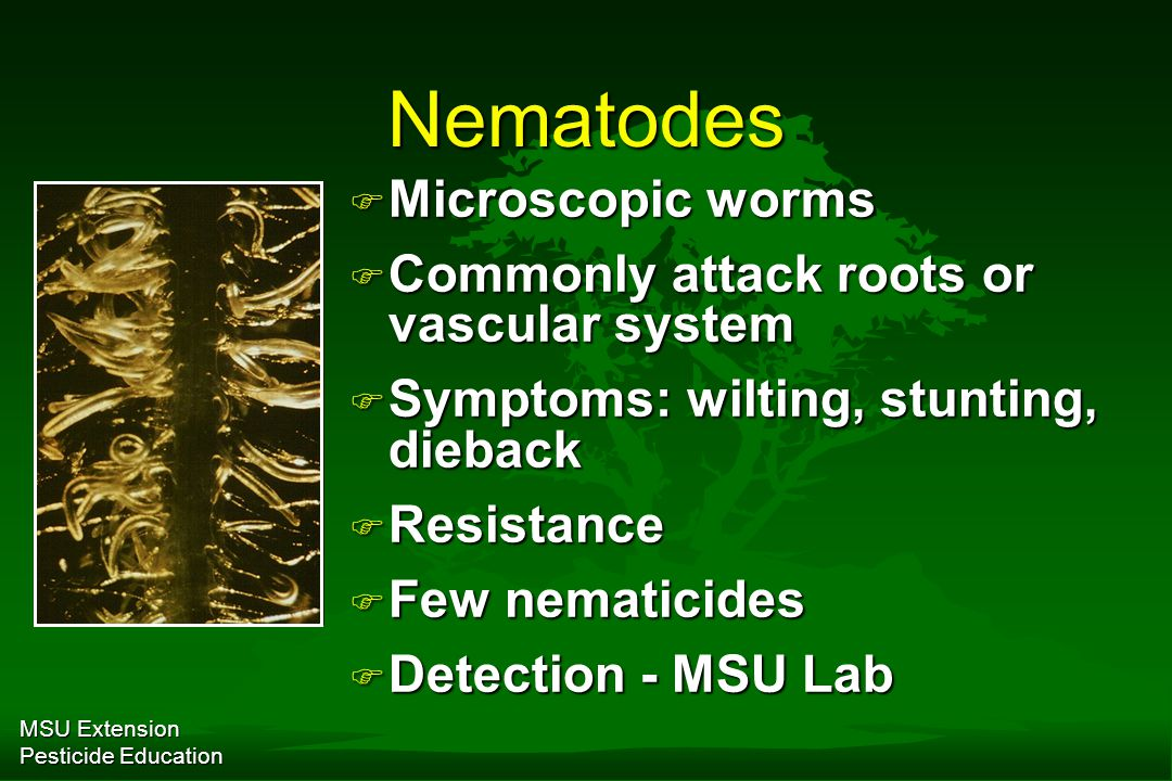 MSU Extension Pesticide Education Nematodes F Microscopic worms F Commonly attack roots or vascular system F Symptoms: wilting, stunting, dieback F Resistance F Few nematicides F Detection - MSU Lab