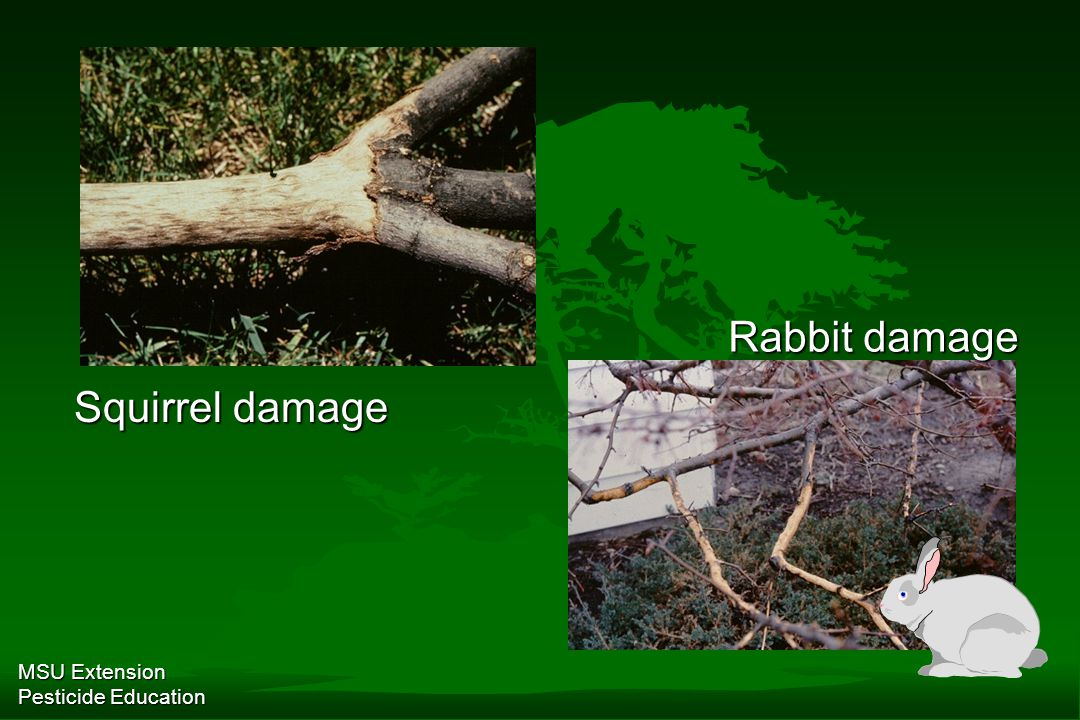 MSU Extension Pesticide Education Squirrel damage Rabbit damage