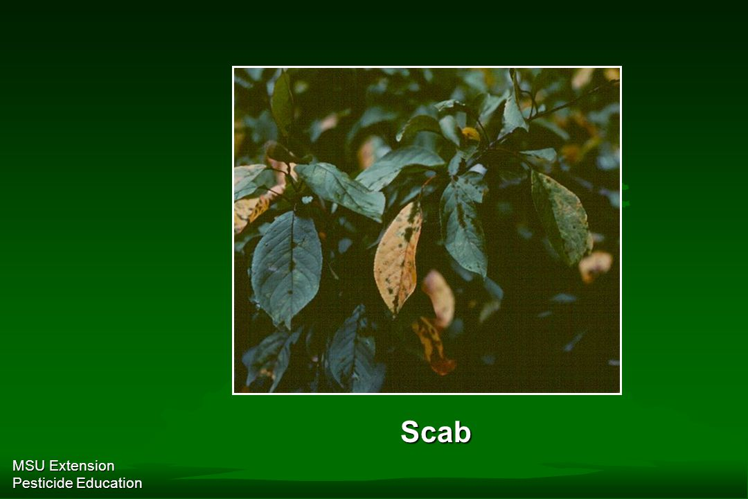 MSU Extension Pesticide Education Scab
