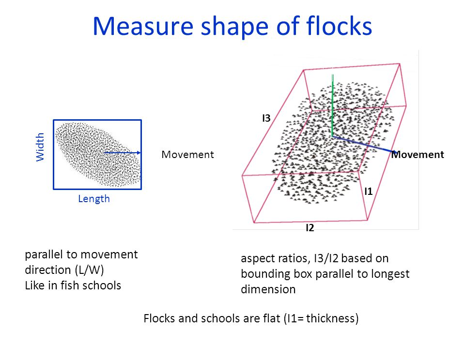 Measure shape of flocks Movement Length Width parallel to movement direction (L/W) Like in fish schools I1 I2 I3 aspect ratios, I3/I2 based on bounding box parallel to longest dimension Flocks and schools are flat (I1= thickness) Movement