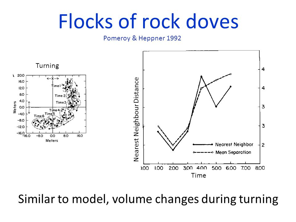 Flocks of rock doves Similar to model, volume changes during turning Nearest Neighbour Distance Pomeroy & Heppner 1992 Turning Time
