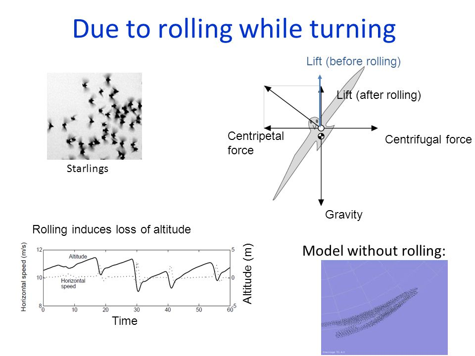 Due to rolling while turning Starlings Lift (before rolling) Lift (after rolling) Gravity Centripetal force Centrifugal force Model without rolling: Rolling induces loss of altitude Altitude (m) Time
