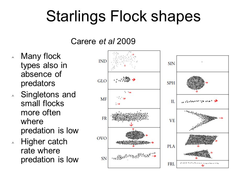 Starlings Flock shapes  Many flock types also in absence of predators  Singletons and small flocks more often where predation is low  Higher catch rate where predation is low Carere et al 2009