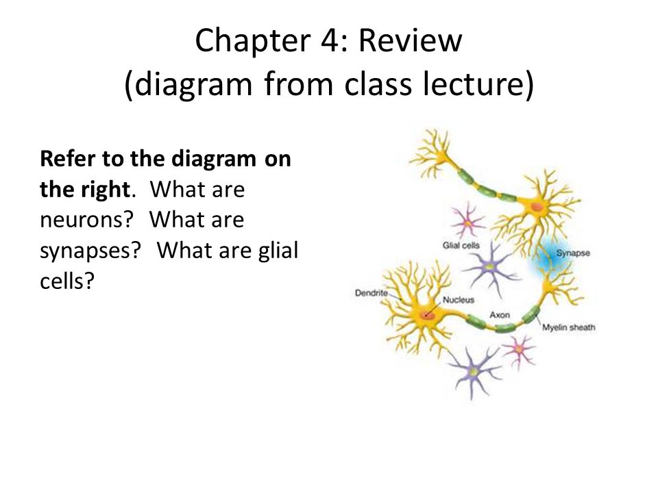 Chapter 4: Review (diagram from class lecture) Refer to the diagram on the right. What are neurons? What are synapses? What are glial cells?