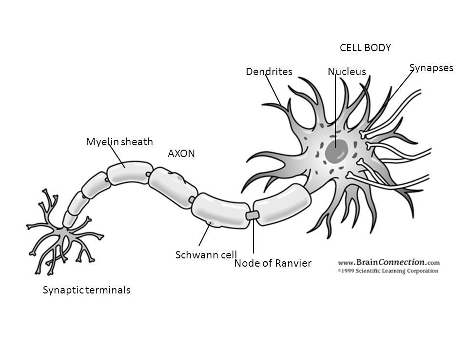 CELL BODY AXON Myelin sheath Schwann cell Node of Ranvier Synaptic terminals DendritesNucleus Synapses