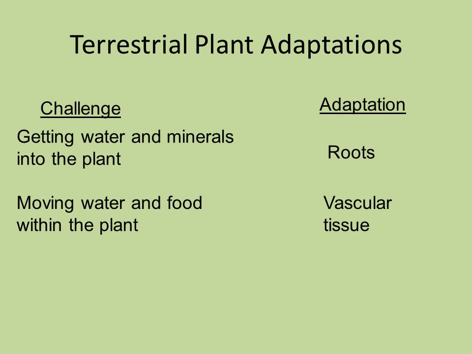 Challenge Adaptation Getting water and minerals into the plant Roots Terrestrial Plant Adaptations Moving water and food within the plant Vascular tissue