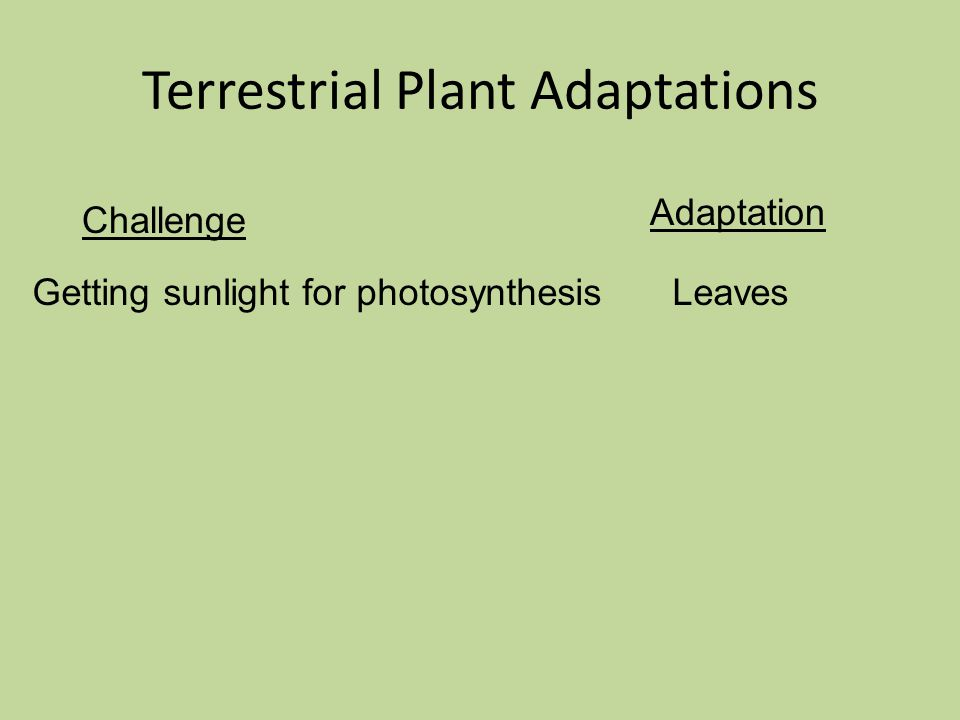 Challenge Adaptation Terrestrial Plant Adaptations Getting sunlight for photosynthesisLeaves