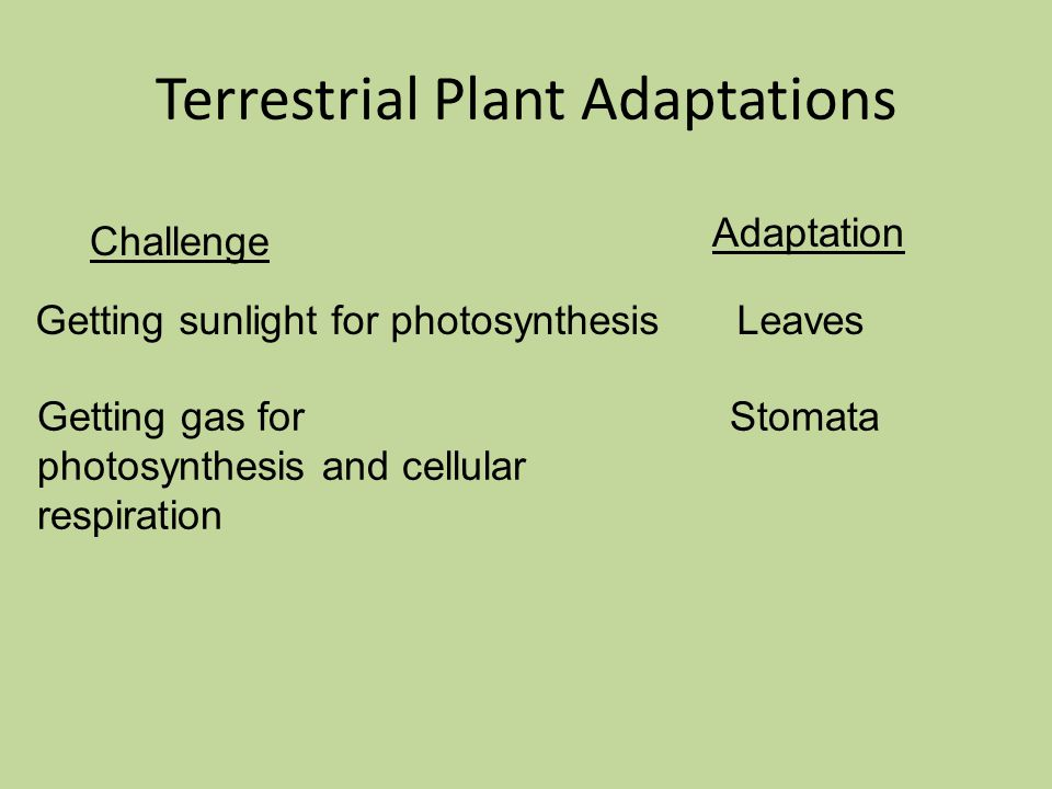 Challenge Adaptation Terrestrial Plant Adaptations Getting sunlight for photosynthesisLeaves Getting gas for photosynthesis and cellular respiration Stomata