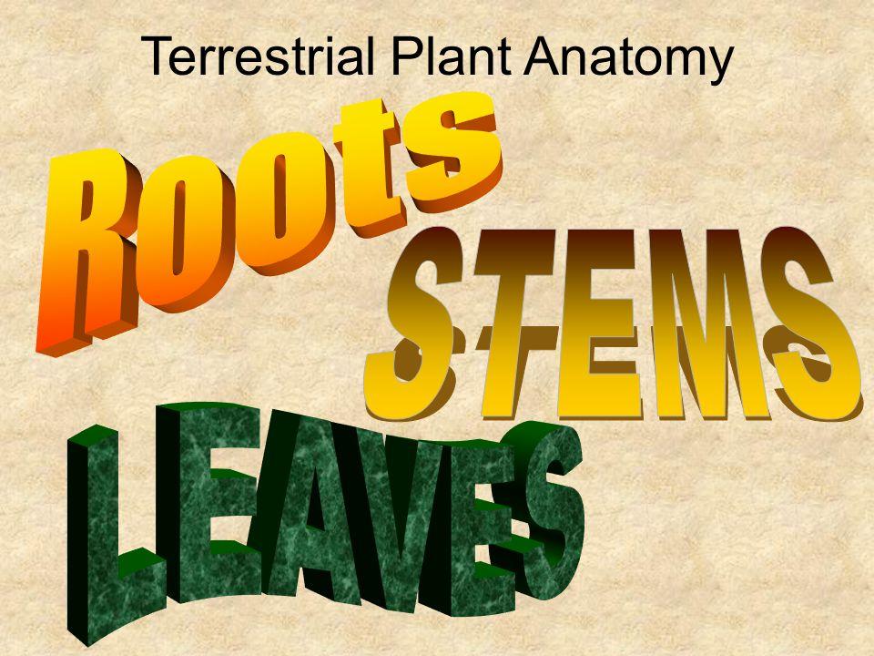 Terrestrial Plant Anatomy