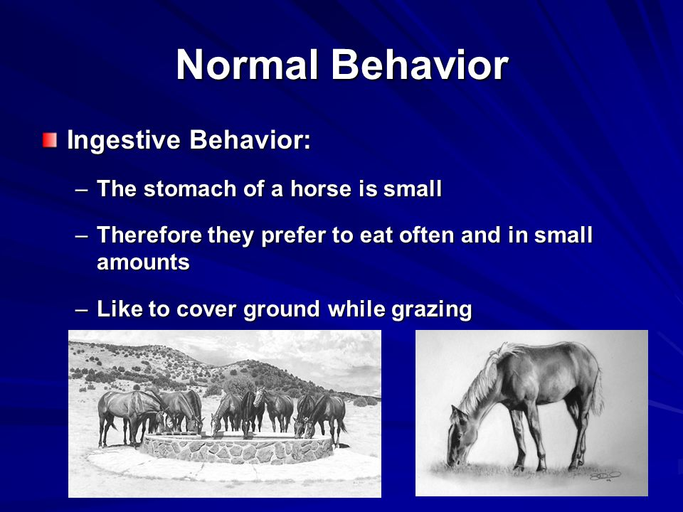 Normal Behavior Ingestive Behavior: –The stomach of a horse is small –Therefore they prefer to eat often and in small amounts –Like to cover ground while grazing