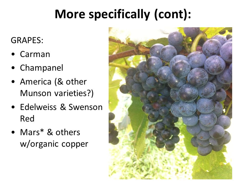 More specifically (cont): GRAPES: Carman Champanel America (& other Munson varieties?) Edelweiss & Swenson Red Mars* & others w/organic copper