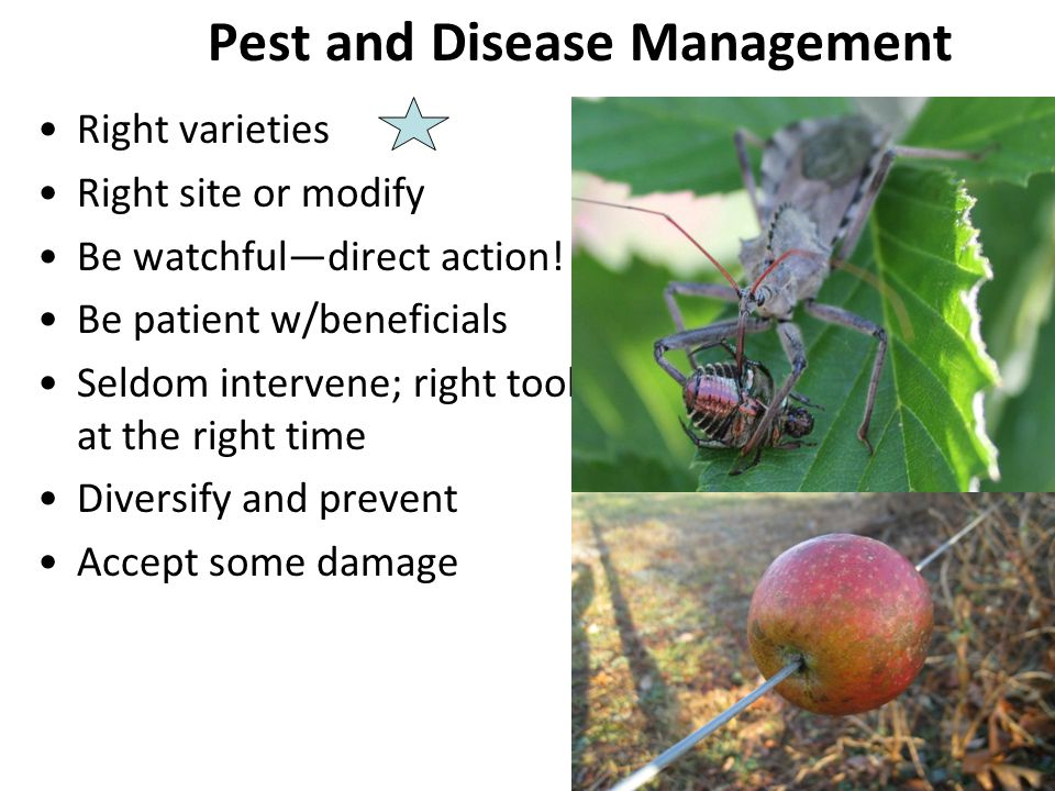 Pest and Disease Management Right varieties Right site or modify Be watchful—direct action! Be patient w/beneficials Seldom intervene; right tool at t