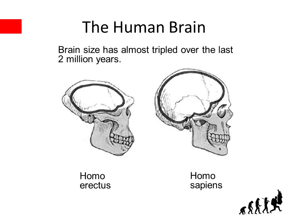 The Human Brain Homo erectus Homo sapiens Brain size has almost tripled over the last 2 million years.