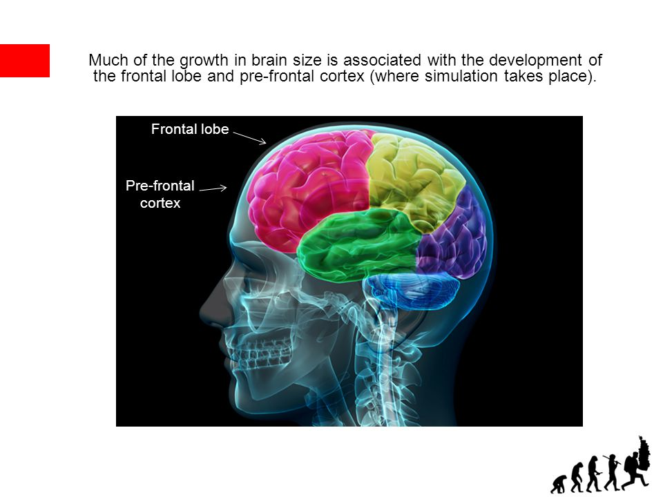 Frontal lobe Pre-frontal cortex Much of the growth in brain size is associated with the development of the frontal lobe and pre-frontal cortex (where
