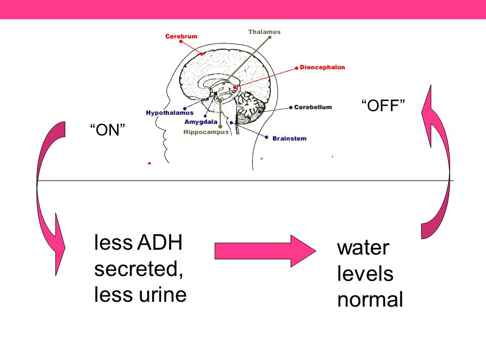 less ADH secreted, less urine ON water levels normal OFF