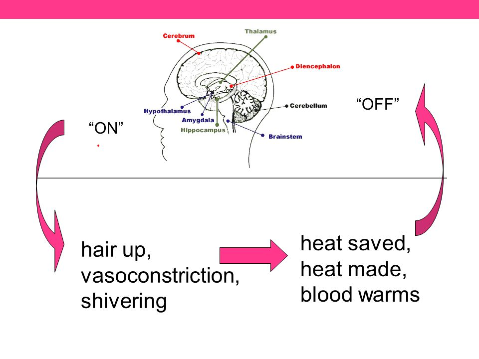 hair up, vasoconstriction, shivering ON heat saved, heat made, blood warms OFF
