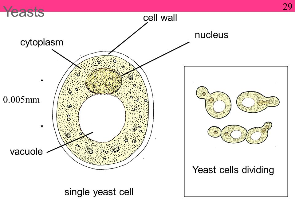 Yeasts 0.005mm single yeast cell Yeast cells dividing cell wall nucleus cytoplasm vacuole 29
