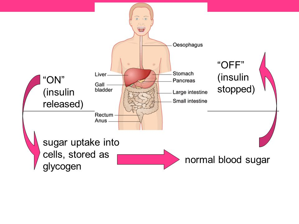 sugar uptake into cells, stored as glycogen ON (insulin released) normal blood sugar OFF (insulin stopped)