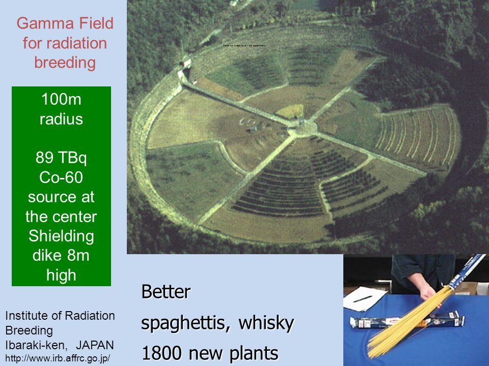Institute of Radiation Breeding Ibaraki-ken, JAPAN http://www.irb.affrc.go.jp/ 100m radius 89 TBq Co-60 source at the center Shielding dike 8m high Gamma Field for radiation breeding Better spaghettis, whisky 1800 new plants Radiation breeding as field experiments