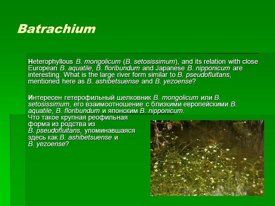 Batrachium Heterophyllous B. mongolicum (B. setosissimum), and its relation with close European B. aquatile, B. floribundum and Japanese B. nipponicum