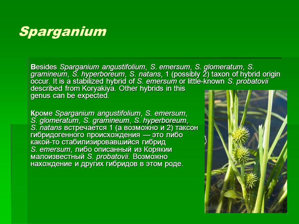 Sparganium Besides Sparganium angustifolium, S. emersum, S. glomeratum, S. gramineum, S. hyperboreum, S. natans, 1 (possibly 2) taxon of hybrid origin