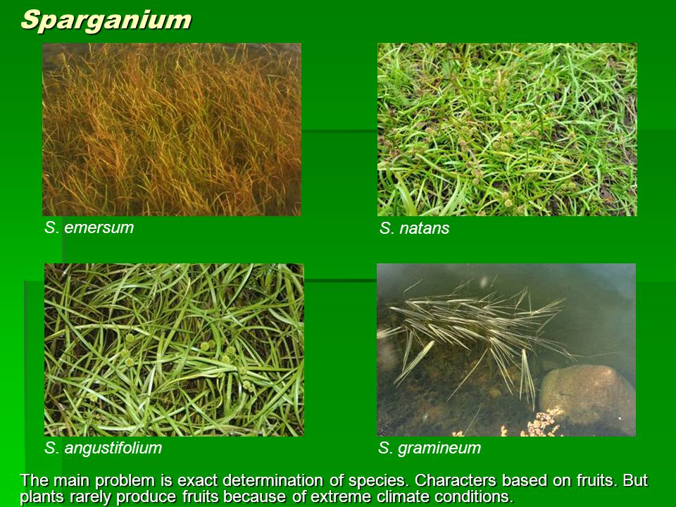 S. gramineum S. natans S. angustifolium S. emersum Sparganium The main problem is exact determination of species. Characters based on fruits. But plan