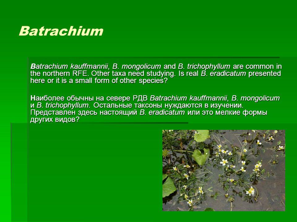 Batrachium Batrachium kauffmannii, B. mongolicum and B. trichophyllum are common in the northern RFE. Other taxa need studying. Is real B. eradicatum