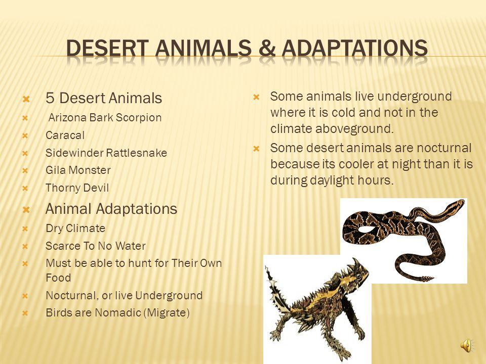  5 Desert Animals  Arizona Bark Scorpion  Caracal  Sidewinder Rattlesnake  Gila Monster  Thorny Devil  Animal Adaptations  Dry Climate  Scarce To No Water  Must be able to hunt for Their Own Food  Nocturnal, or live Underground  Birds are Nomadic (Migrate)  Some animals live underground where it is cold and not in the climate aboveground.