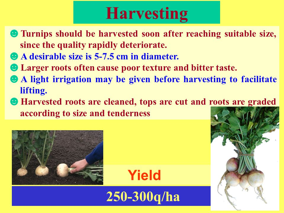 Harvesting ☻ Turnips should be harvested soon after reaching suitable size, since the quality rapidly deteriorate. ☻ A desirable size is 5-7.5 cm in d